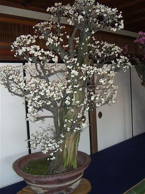 bonsai mua xuan 47